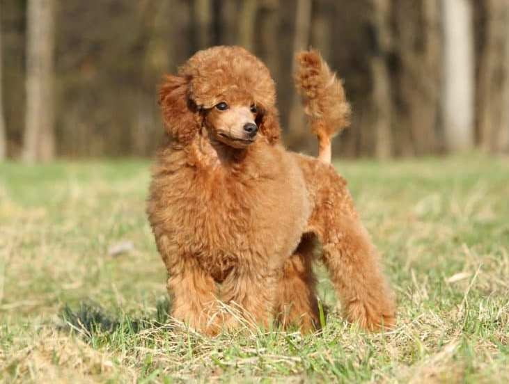 a poodle nicely groomed