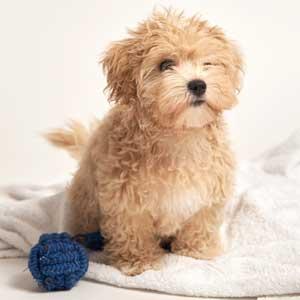 Malti Poo Puppies for Sale