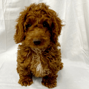 Mini Goldendoodle Puppies for Sale